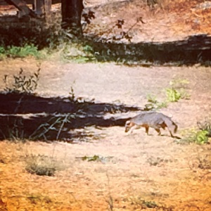 A slinky Channel Islands fox: species on the rebound!