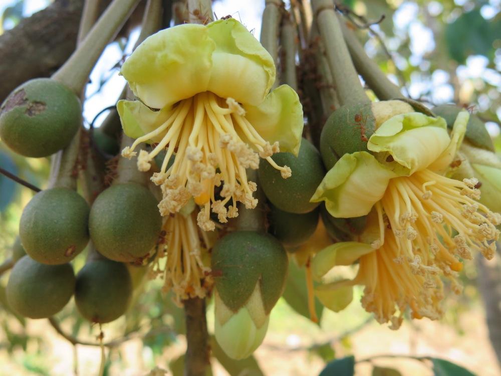 durian blossom
