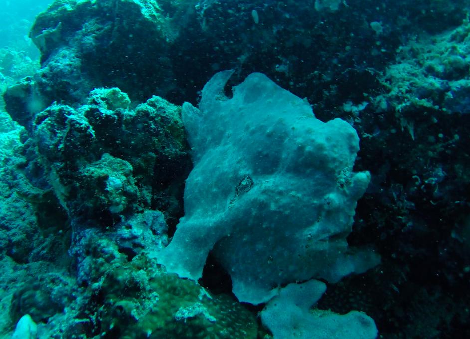 Frog fish diving Moalboal