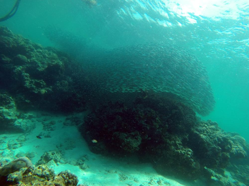 Sardines school drift dive Cebu Moalboal