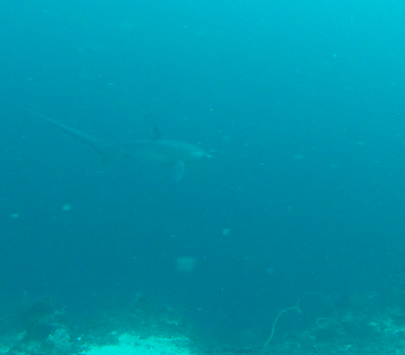 Thresher shark two