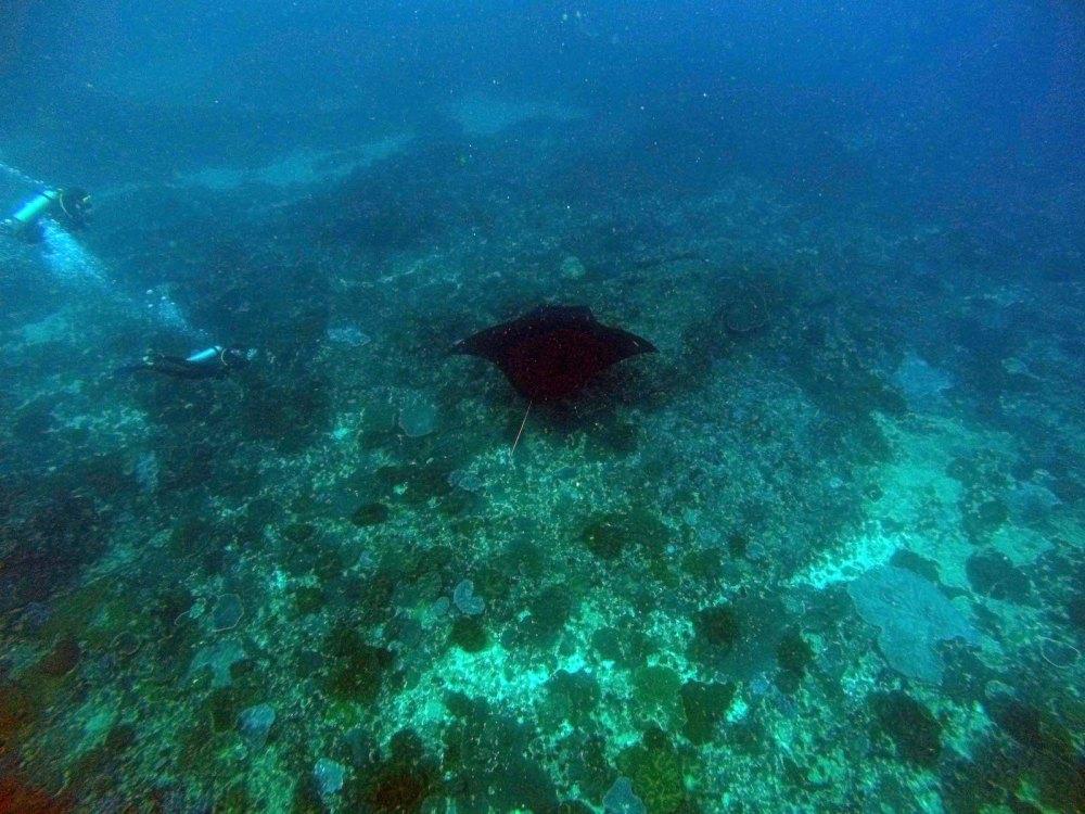 Reef manta and scuba diver